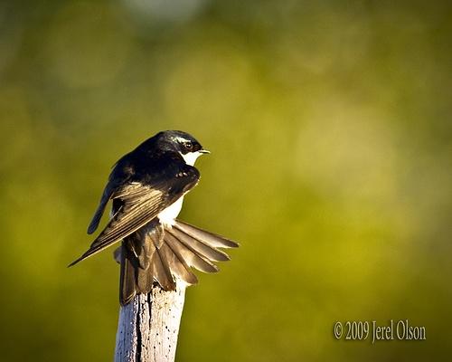 Barn Swallow - Fan Tail