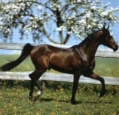 Arabisch Volbloed Horse