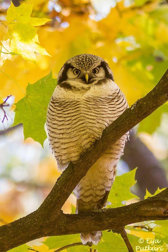 A Northern Hawk Owl looking fabulous with autumn colours in Helsinki, Finland. Image thanks to Eija Putkuri