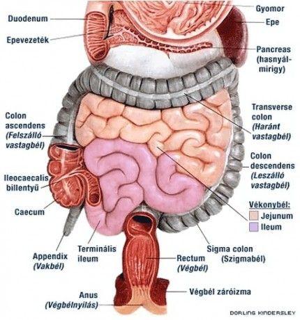 léböjt kúra hatása: panaszmentes szigmabél