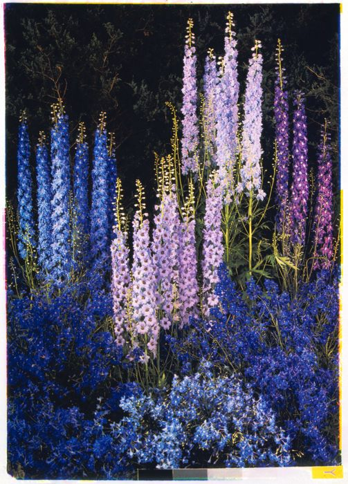 Edward Steichen (American, b. Luxembourg 1879-1973), Delphiniums,1940, dye imbibition process. Bequest of Edward Steichen by Direction of Joanna T. Steichen © Joanna T. Steichen
