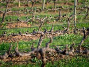 Vineyards in hibernation over the cool winter season.