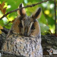 Long-eared Owl by Gerard Gorman