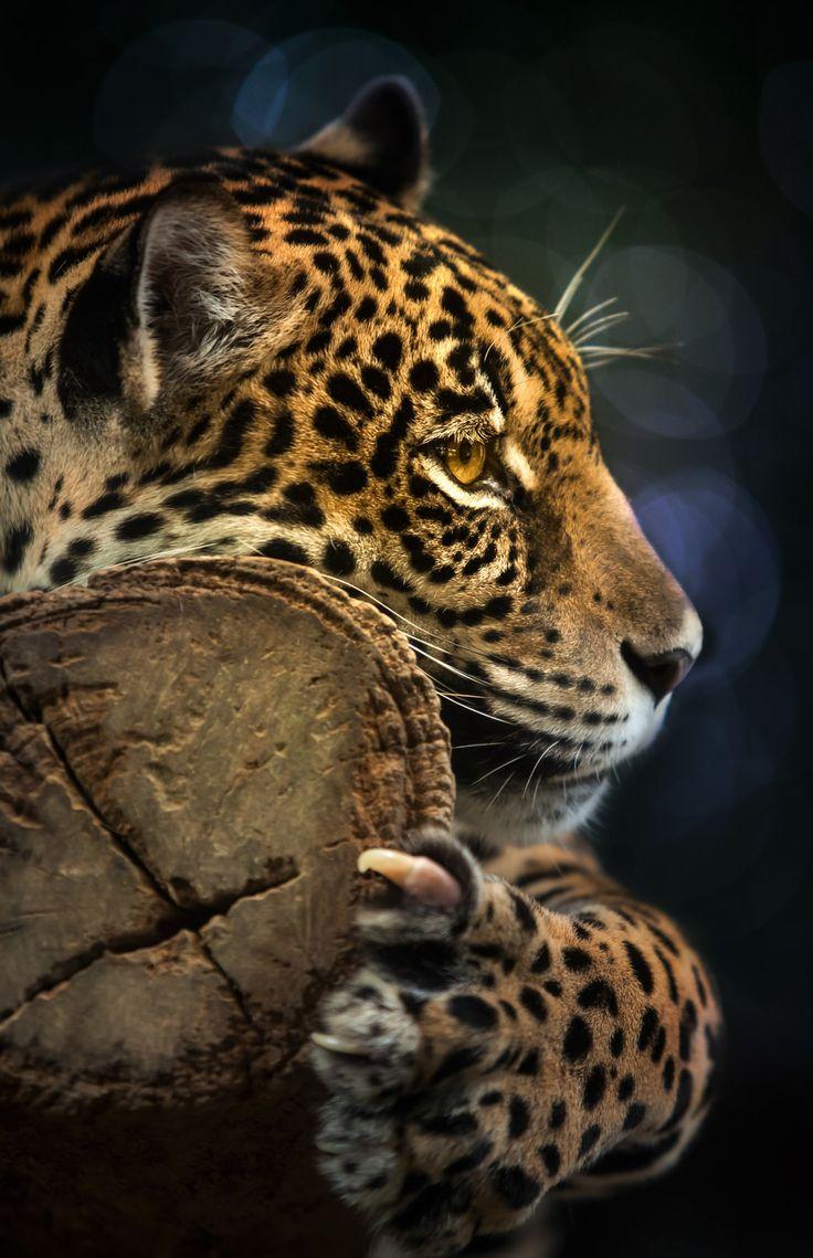 Leopardo ✿⊱╮                                                                                                                                                                                 Más