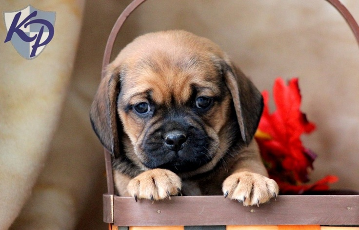 puggle puppy for sale near lancaster pennsylvania pooch puggle puppies for sale in pa keystone puppies