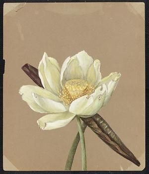 From the collection at Andersen Horticultural Library. Emma Roberts (1859-1948), a watercolorist from Minneapolis, founded the Handicraft Guild, and was supervisor of drawing for Minneapolis Public Schools. Emma painted Nelumbium luteum (Great Yellow Nelumbo) in Saint Paul. It is dated August 19, 1885.
