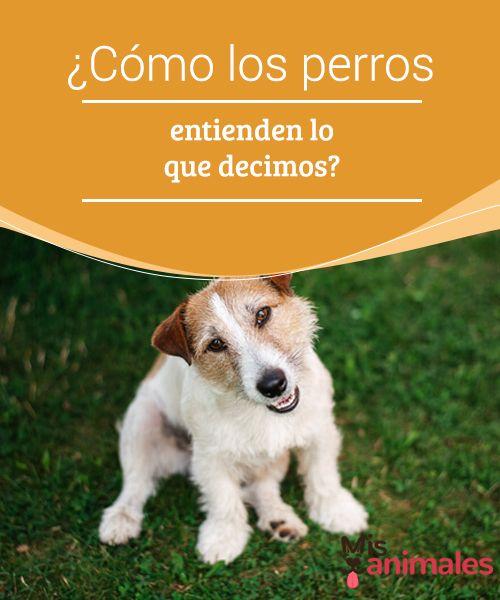 """¿Cómo los #perros entienden lo que decimos?  Todo el que ha tenido perros sabe que estos #animales desarrollan un #razonamiento que escapa a nuestra comprensión. Una de las frases más dichas por los #dueños de canes: """"es cómo si me entendiera"""" o """"solo le falta hablar""""."""