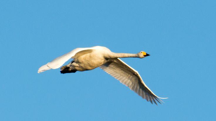 Whooper Swan by Markku T on 500px