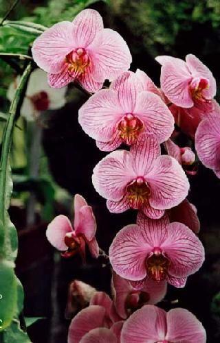 Фаленопсис - Все о комнатных растениях на flowersweb.info