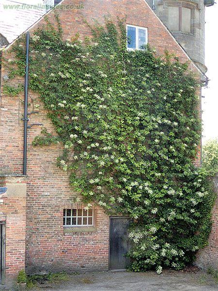 Hydrangea petiolaris på vegg
