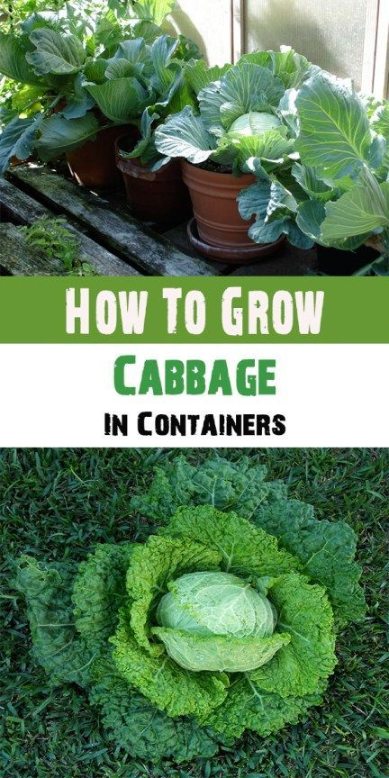How To Grow Cabbage In Containers Growing Vegetables 400 x 300