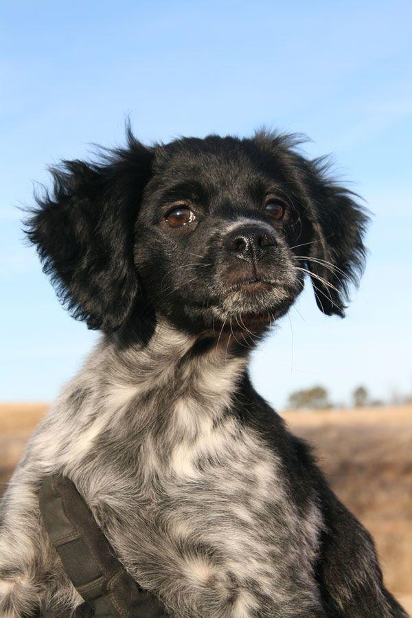 french brittany dog photo   Breed Profile: The French Brittany - Gun Dog Magazine