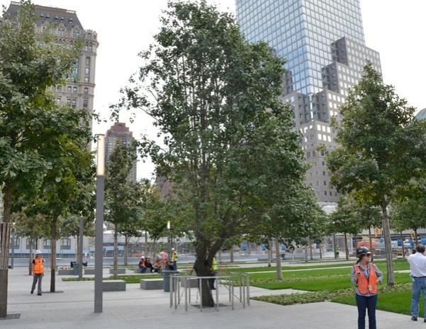 survivor tree   National September 11 Memorial & Museum