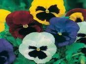 YALIN RENKLİ HERCAİ MENEKŞE http://www.fidanistanbul.com/urun/2731_yalin-renkli-hercai-menekse.html Fidan Satışı, Fide Satışı, internetten Fidan Siparişi, Bodur Aşılı Sertifikalı Meyve Fidanı Süs Bitkileri,Ağaç,Bitki,Çiçek,Çalı,Fide,tohum,toprak