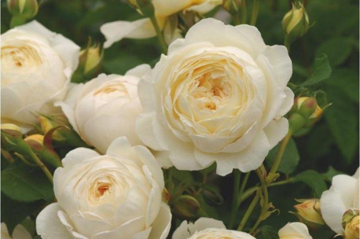 Claire Austin English Rose