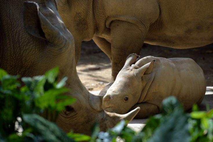 Un cucciolo di rinoceronte bianco nello zoo di Singapore (Then Chih Wey/Xinhua via ZUMA Wire)