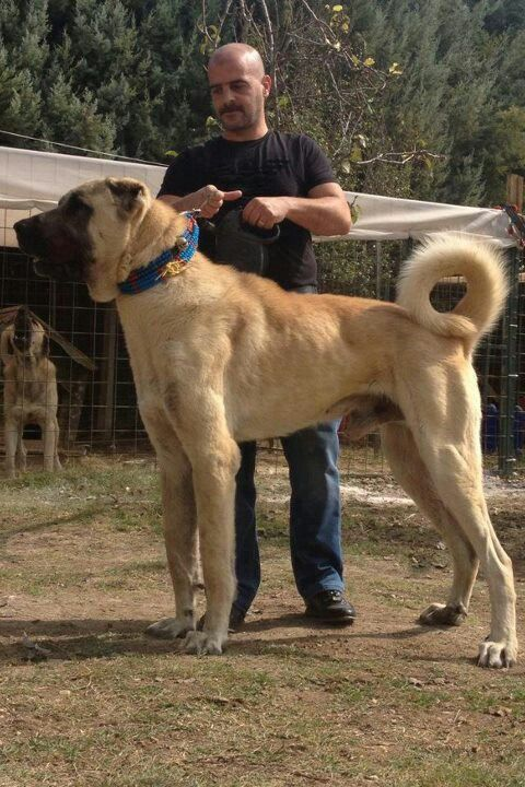 Anatolin Shepherd -  Kangal. These dogs are huge and fiercely loyal- perfect guard dog