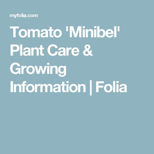 Tomato 'Minibel' Plant Care & Growing Information  | Folia