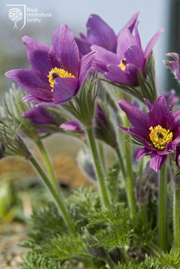 Royal Horticultural Society - Spring Flowers -  Pulsatilla vulgaris subsp. grandis.