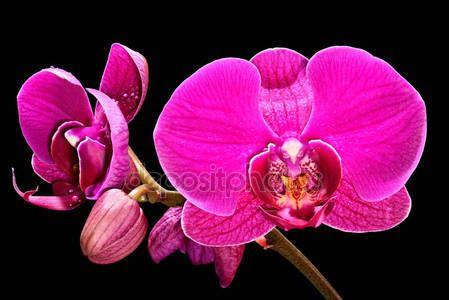 Скачать - Красивые розовые орхидеи на черном фоне — стоковое изображение #140036808