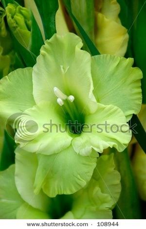 Green gladiola bloom - {August birth flower}