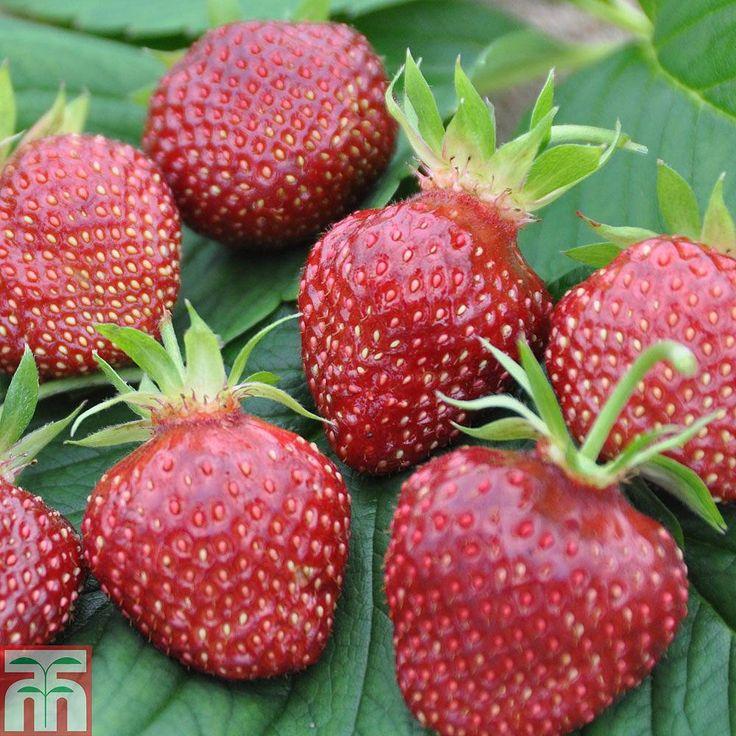 Strawberry 'Cherry Berry' plants Thompson &