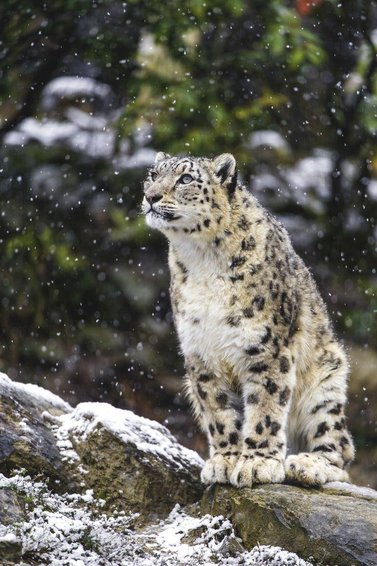 Фото картинки снежного барса открывается