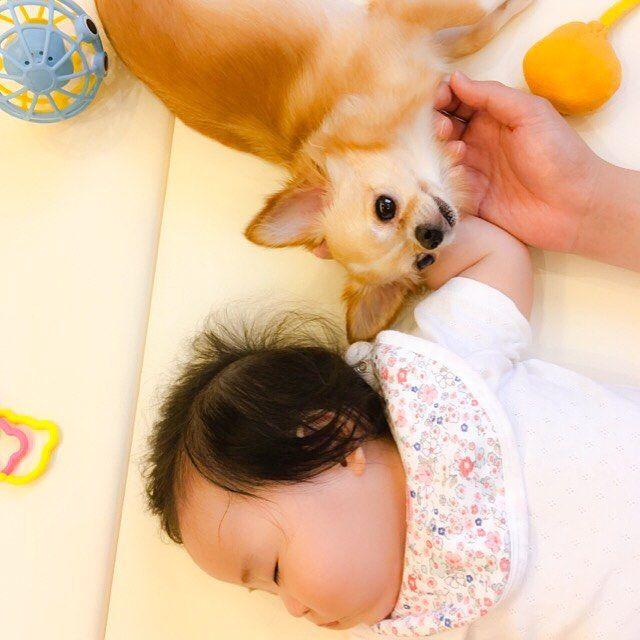 . 2人の手に くっつき虫(*ˊ˘ˋ*) . 人の手が大好き♪ . #なな #2歳 #チワワ #ロングコートチワワ #ロンチー #ちわわ #ちわわ部 #犬 #愛犬 #赤ちゃんと犬 #犬と赤ちゃん #子供と犬 #赤ちゃん #女の子ベビー #7ヶ月 #生後7ヶ月 #女の子 #ベビー #コドモノ #ママリ #chihuahua #chiwawa #chihuahualove #dog #dogstagram #instadog #baby #babygirl #7months