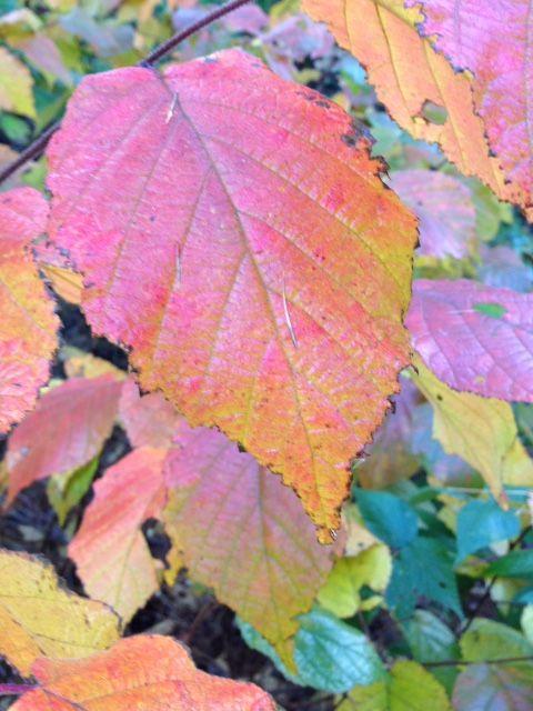 Autumn colour, www.purplepottingshed.com
