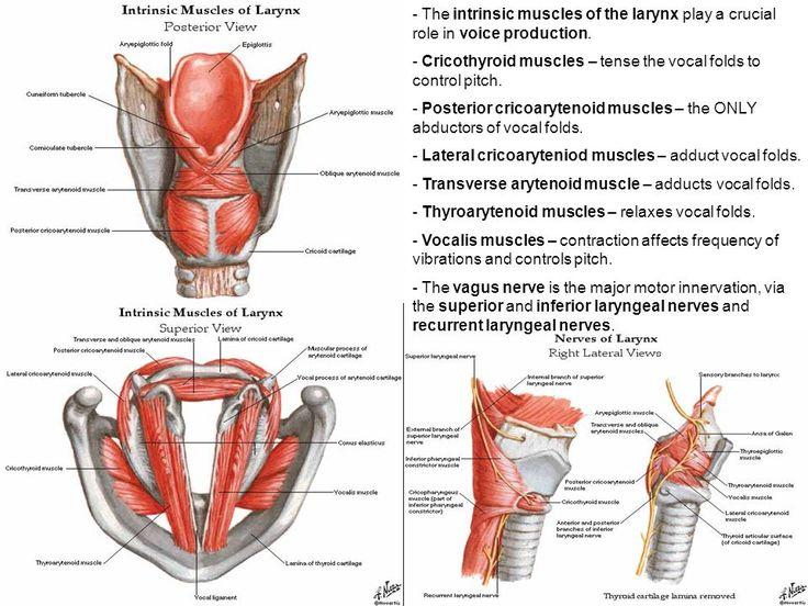 41 Best Larynx Model Images On Pinterest Anatomy Anatomy
