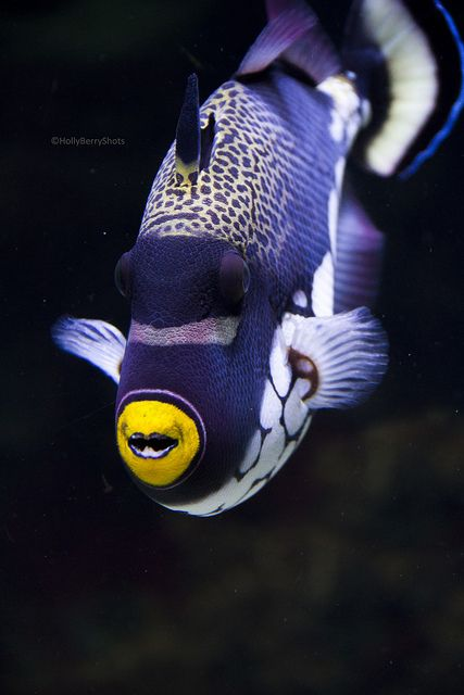 Spectacular purple fish!