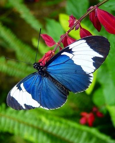 ~Longwing butterfly via Bird's Eye View at www.Facebook.com/aBirdsEyeViewForYou~ #longwing #bluebutterflies