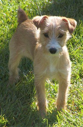 Angie, the Yorkie Russell (Yorkshire Terrier / Jack Russell Terrier hybrid) at 5 months old