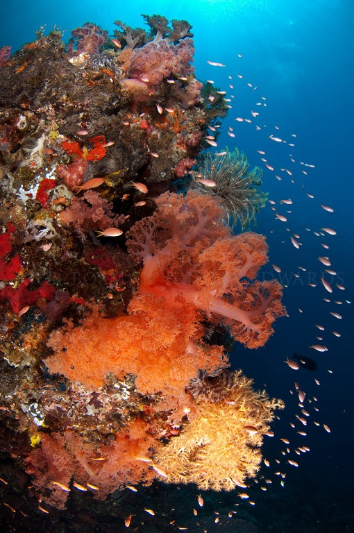 #PINdonesia <3 I LOVE INDONESIA XLALU WOW Fish on an Indonesian reef - Cor Bosman & Julie Edwards Underwater Photography