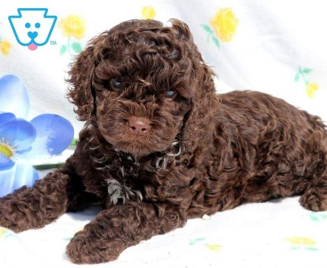 Cockapoo Puppies For Sale Cockapoo Puppies For Sale Puppy Adoption Cockapoo
