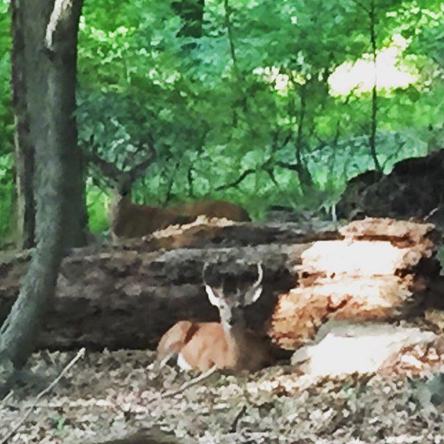 【hi.ransha】さんのInstagramをピンしています。 《#buck #two #rockefellerstatepark #wood #牡鹿 #2頭 #ロックフェラー州立公園 #森  Large horned bucks are gorgeous  大きな角がある牡鹿に会えた Doe に会えても嬉しいけど、 何十倍も感動する❤️》