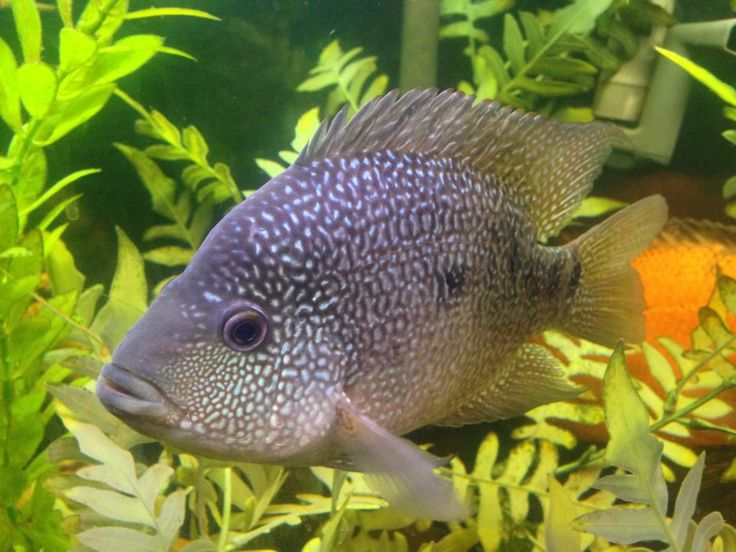 116 best images about adorable texas cichlid my favorite for Texas freshwater fish