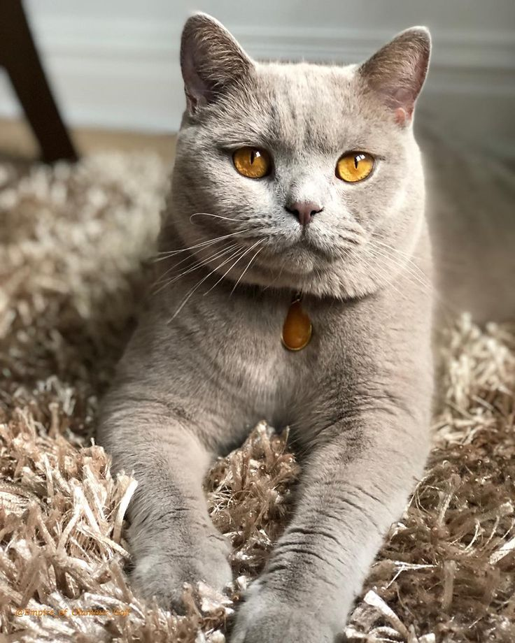 Do you like my peanut butter eyes ? 😻 Cute cats, Cat