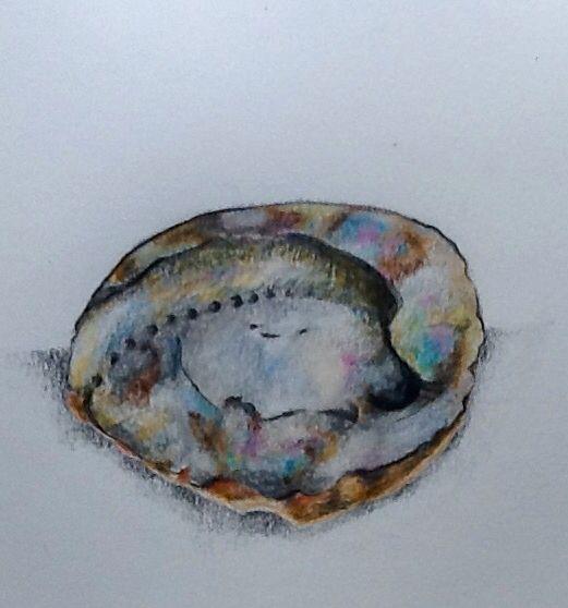 Haliotis midae - Abalone  Drawn using Faber Castell Polychromos and Lyra Aquarelle coloured pencils. Lisa McGregor