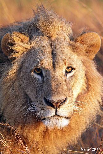 Lion at sunrise, near Nairobi, Kenya / click on image for more wonderful photos of wildlife in Africa