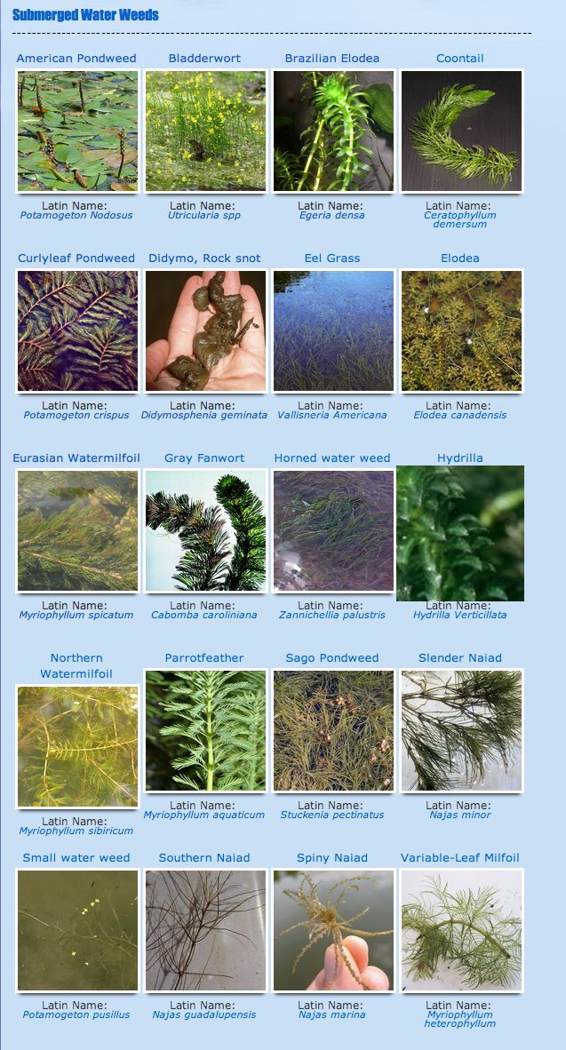Why do I need to know what type of water weeds I have? Isn't it better to know your enemy so you can attack its weakness? Knowing the type of weed will give you an advantage when deciding the course of action to take. Weeds are all different, they can propagate by seeds, fragmentation, and by nodes. Changes in temperature and PH of the water can effect some weeds. Time of the year is another parameter that needs to be discussed.