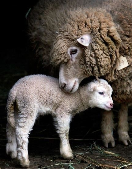 Différence laine vierge et laine d'agneau
