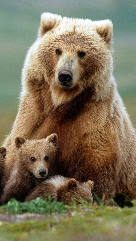 "Bear Cub:  ""Mom!  I don't want to be the 'Bear'-er of bad news... But that human is taking all the wild honey!"""