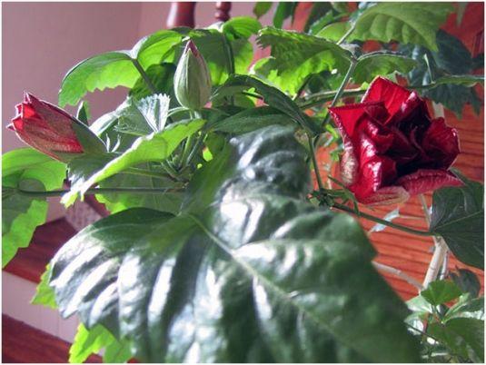 китайская роза или гибискус. У себя на родине, в Малайзии, это растение считается символом мира и любовной страсти.