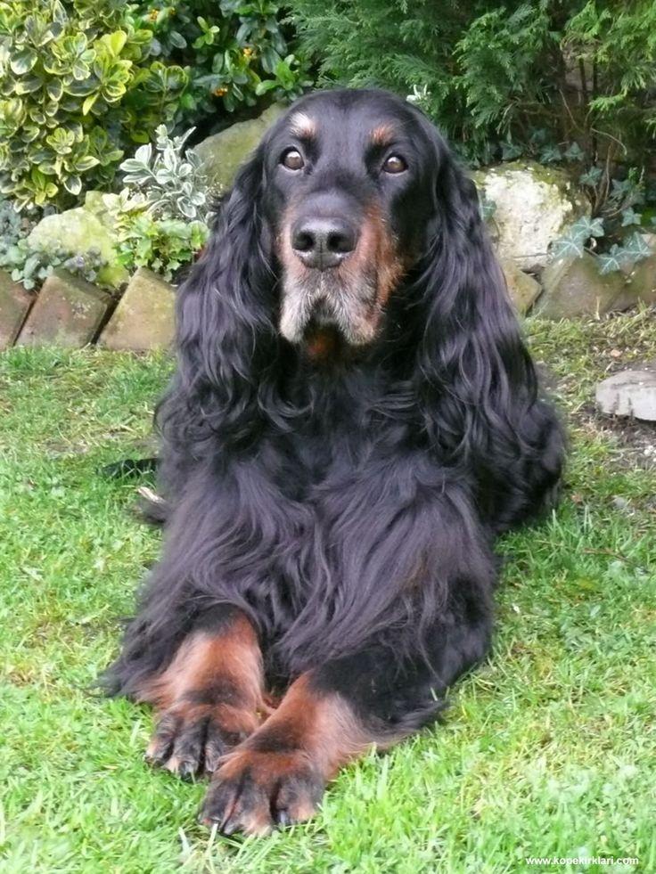 Gordon Setter | Köpek Irkları | Köpek Cinsleri | Köpek Türleri