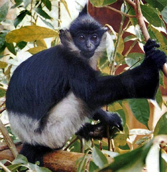 animals next to extinction | ... photos: Gorillas, lemurs on the brink of extinction - Rediff.com News