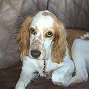 American Brittany Rescue :: Simon, CA