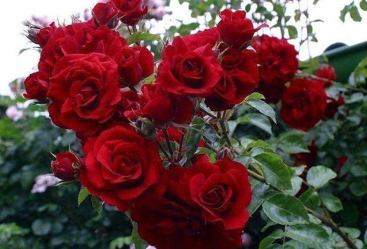 http://ok.ru/group/54333447929867  КАК ПРОИЗВОДИТСЯ ОБРЕЗКА РОЗ НА ЗИМУ БЕЗ УЩЕРБА ДЛЯ РАСТЕНИЯ  Дикорастущие розы и без всякого вмешательства выглядят прекрасно, они не нуждаются ни в весенней обрезке, ни в осенней. А вот от садовых роз вы  вряд ли дождетесь обильного цветения и быстрого роста без проведения  обрезки. Обрезая старые ветви, вы стимулируете появление новых сильных  побегов, дополнительной листвы и крупных цветов.  И если с помощью весенней обрезки формируется красивый розовый…