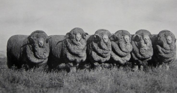 Stud Merino Rams, Bred at Hadden Rig. Sold by Dalgety & Co., 1924 Sydney Sheep sales for the price of 15,513 Pounds.  Haddon Rig, New South Wales. The Property of Franc B. S. Falkiner, Esq. Originally a property of approximately 28,000 acres. Enlarged to 80,000 acres with the purchases of Merrimba Station, Wemabung Station and Bona Station in the early 1920s. Photo circa 1920. Uploaded courtesy of thecollectorsbag.com