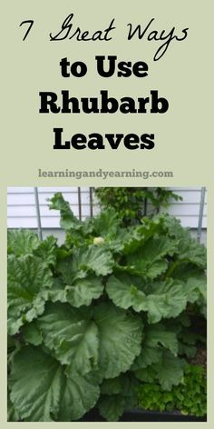 The level of oxalic acid is so high in rhubarb leaves that they are poisonous and cannot be eaten. But that doesn't mean that they need to be tossed in the trash. Here are 7 great ways to use them!